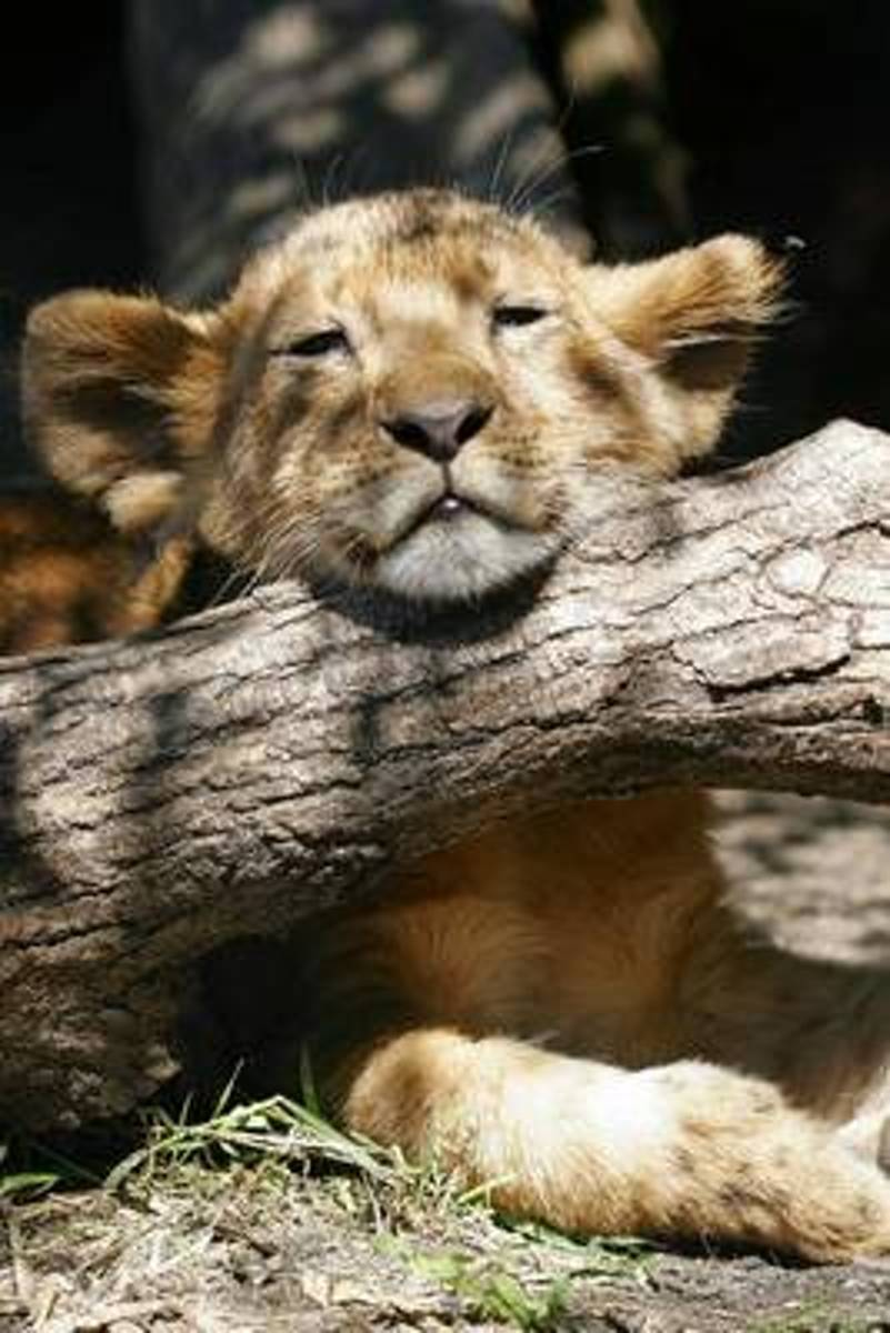 Lion Cub Resting His Head on a Log Journal