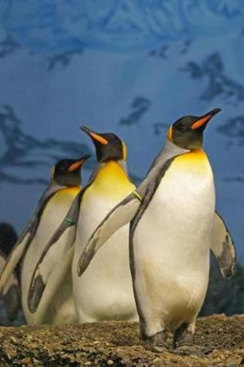Three Awesome King Penguins Journal