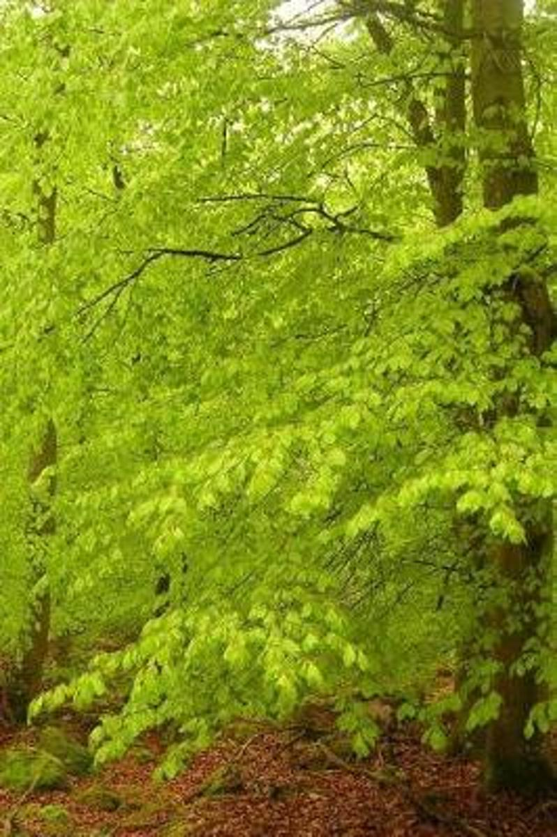 Spring Green Leaves in a Beech Tree Forest Journal
