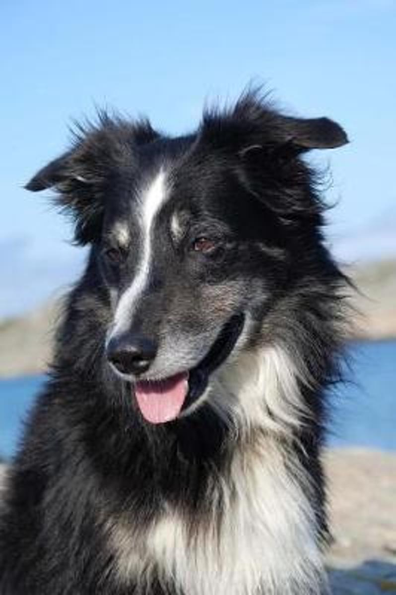 A Friendly Black and White Border Collie Dog Journal