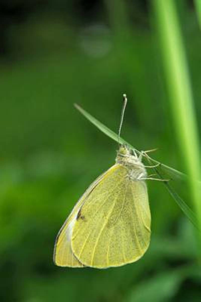 Large White Aka Cabbage Butterfly (Pieris Brassicae) Journal