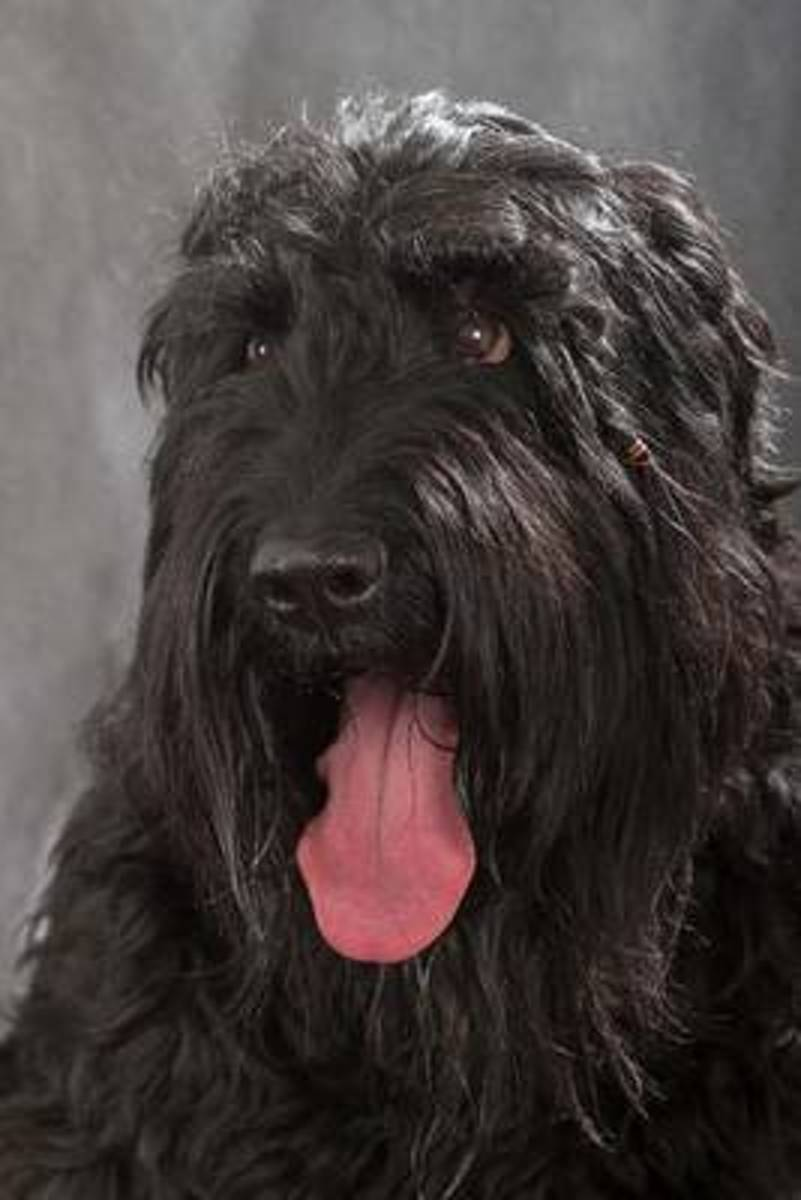 The Black Russian Terrier Dog Journal