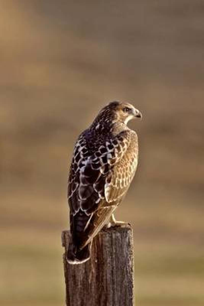 Swainson's Hawk Journal