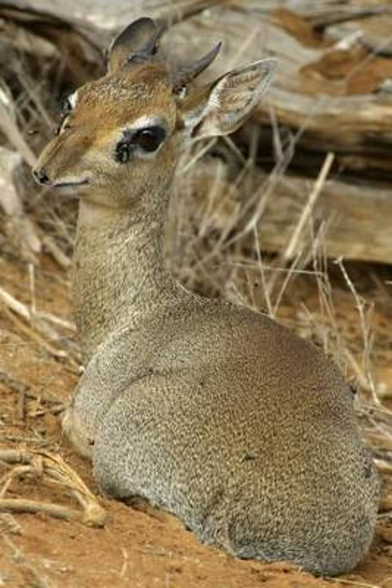 The Dik Dik Antelope Journal