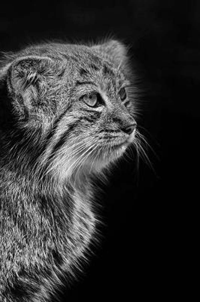 Pensive Pallas Cat Portrait in Black and White Wildcat Photography Journal