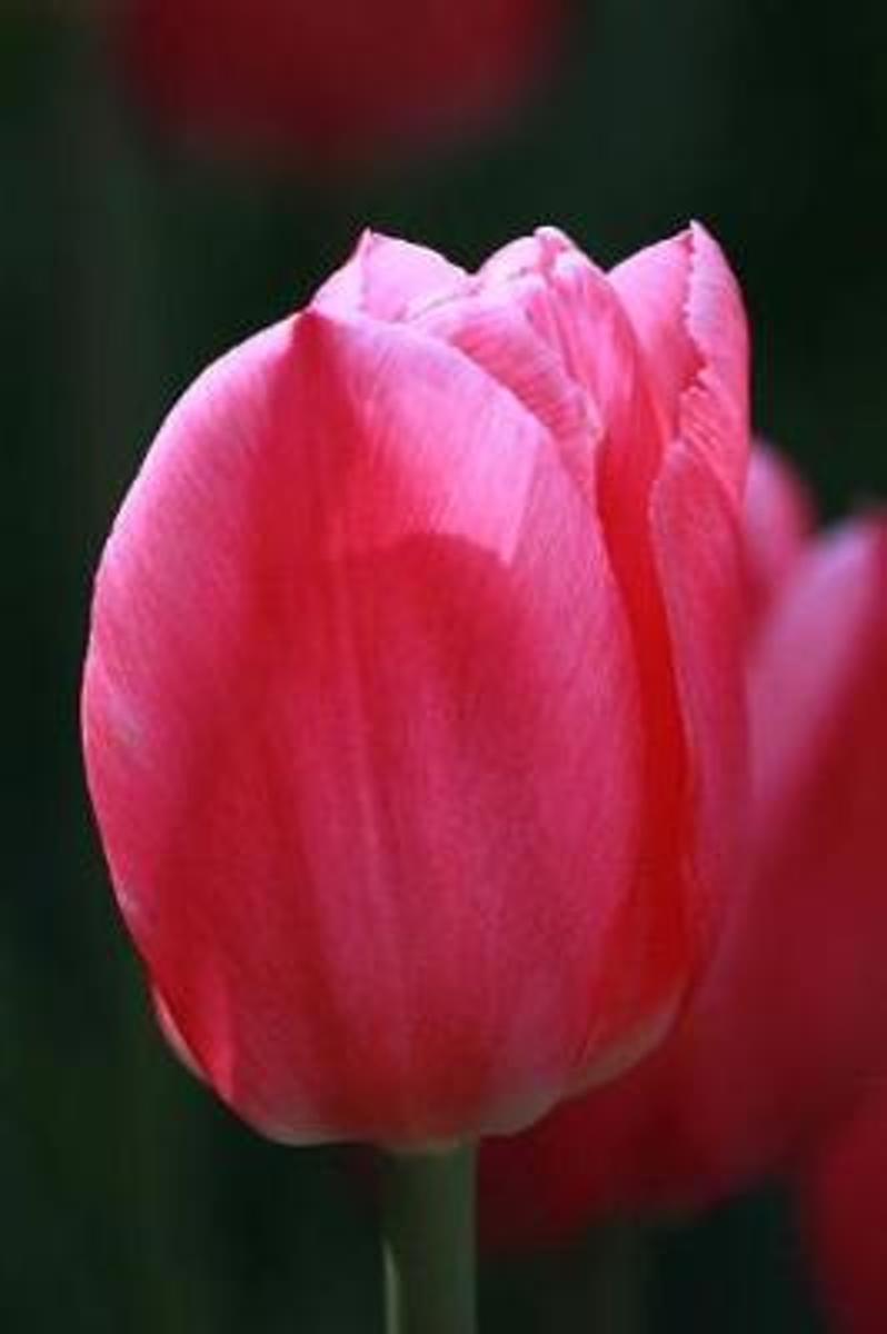 Bright Pink Tulip Extreme Close-Up Spring Flower Journal