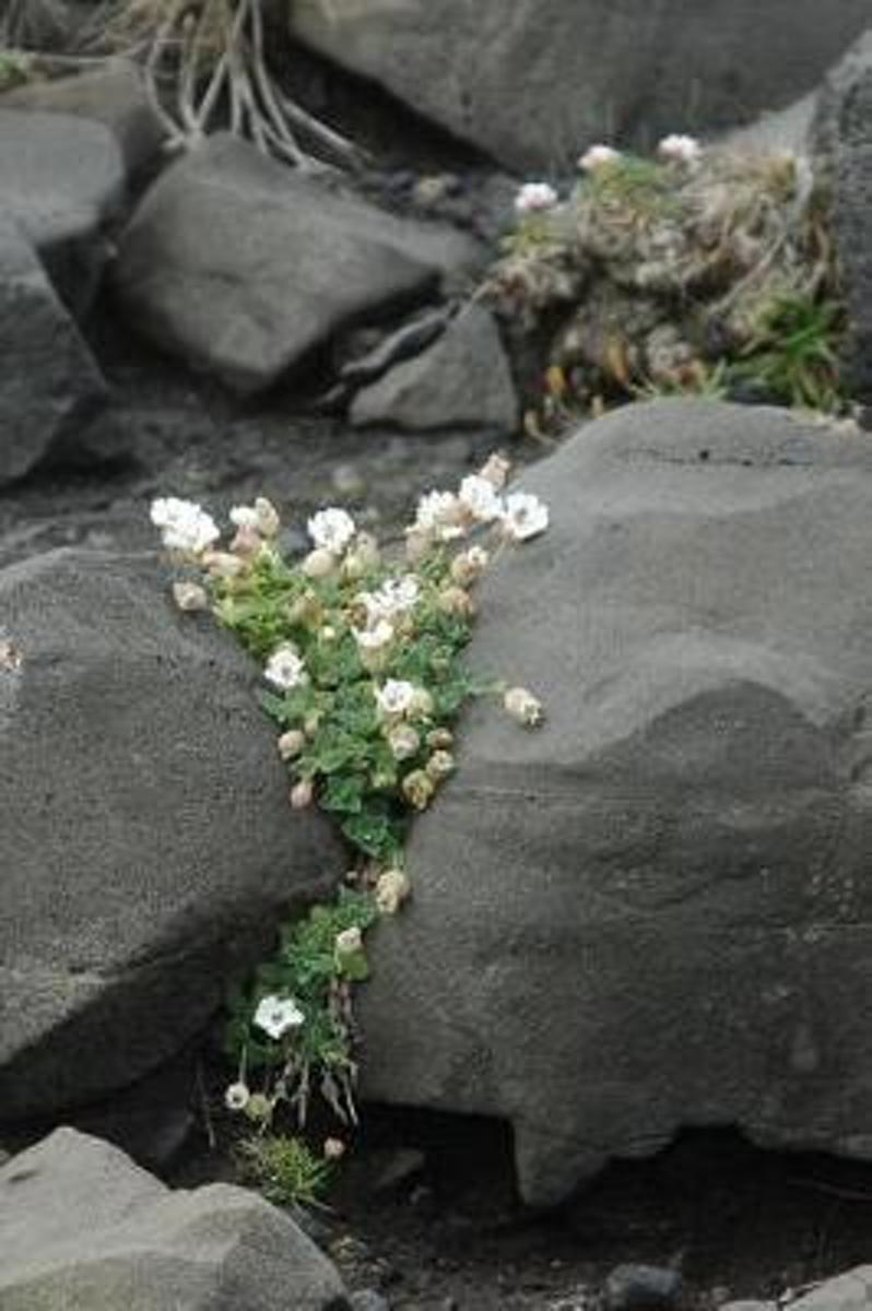 White Flowers Clinging to Volcanic Rocks Summer in Iceland Journal