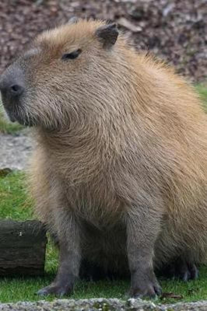 Skeptical Capybara Is Does Not Approve Journal