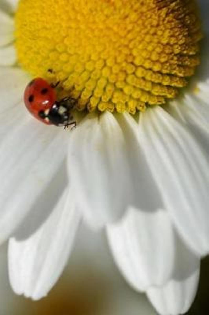 Red Ladybug on a White and Yellow Daisy Nature Journal