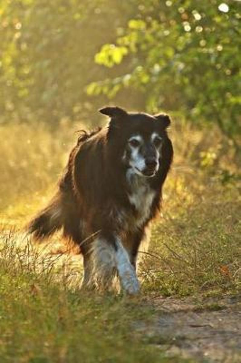 A Border Collie in the Field at Sunrise Dog Journal