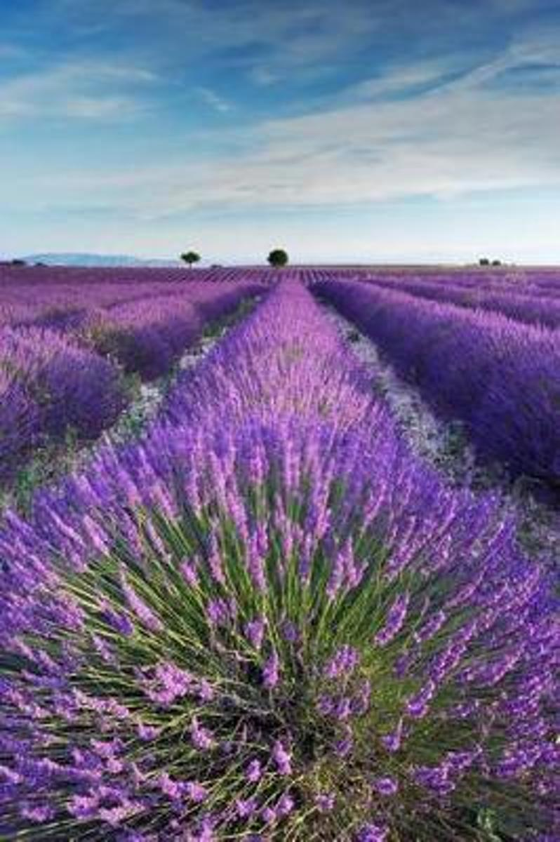Lavender Field in Provence France Journal