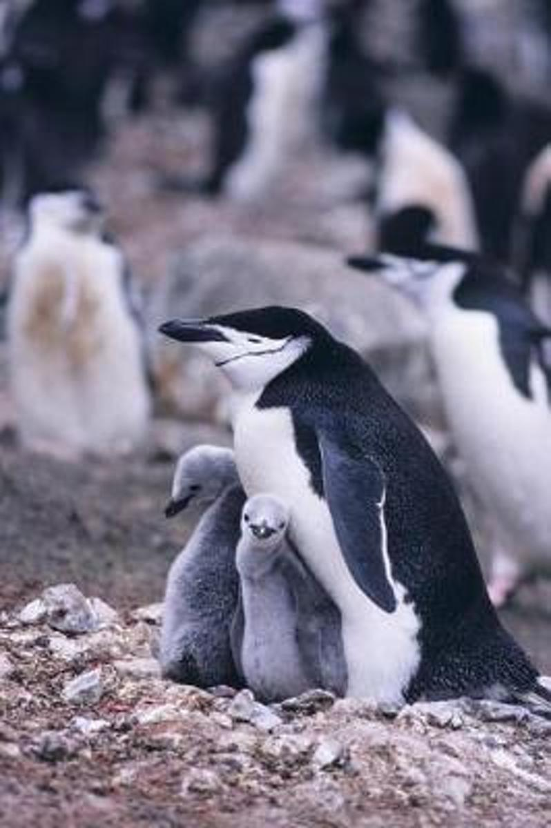 Chinstrap Penguin Mother with Chicks Journal