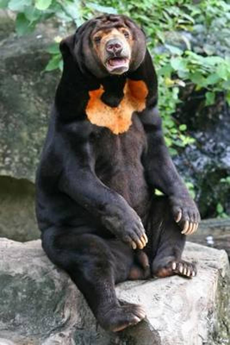 Malayan Sun Bear Journal