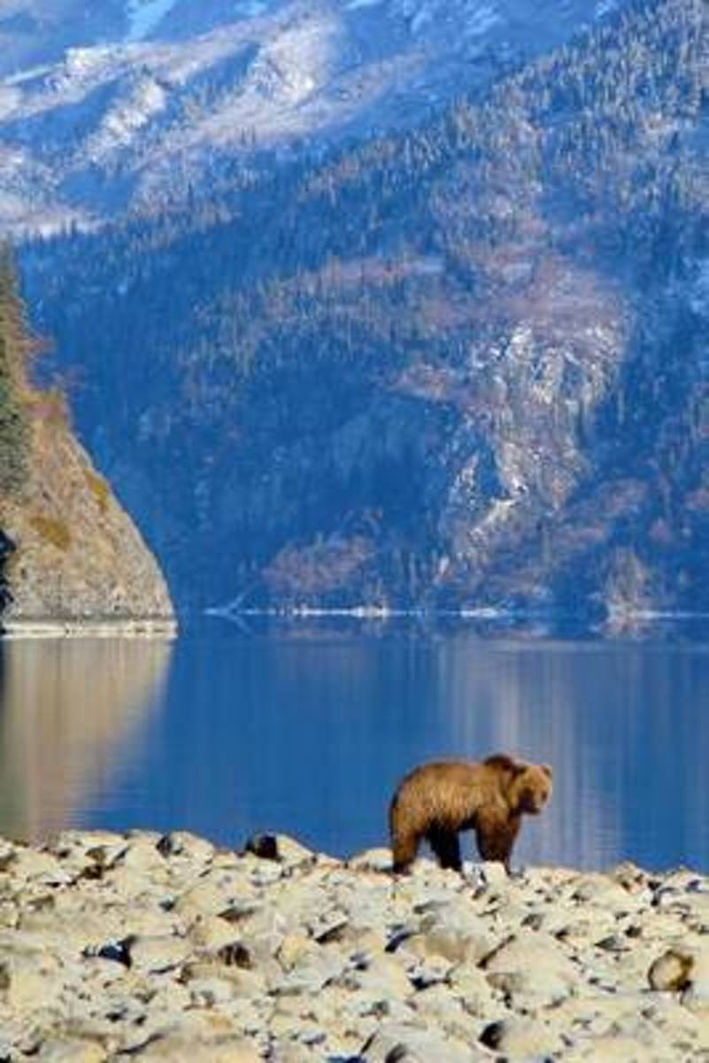 Brown Bear by a Mountain Lake