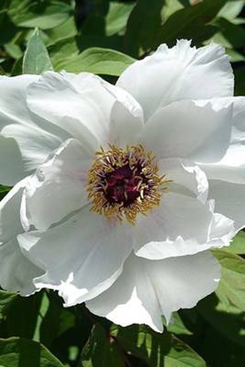 White Peony Flower Journal