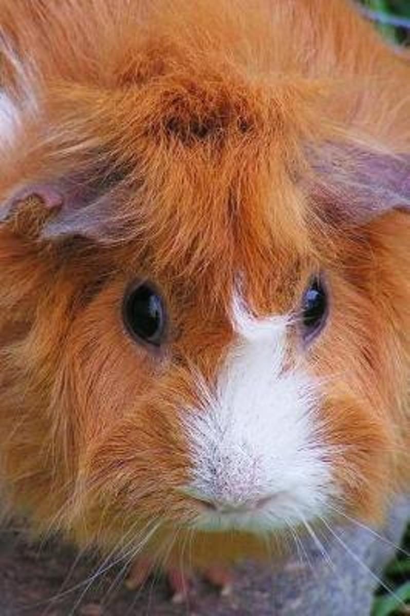 A Fluffy Cute Red and White Guinea Pig Pet Journal