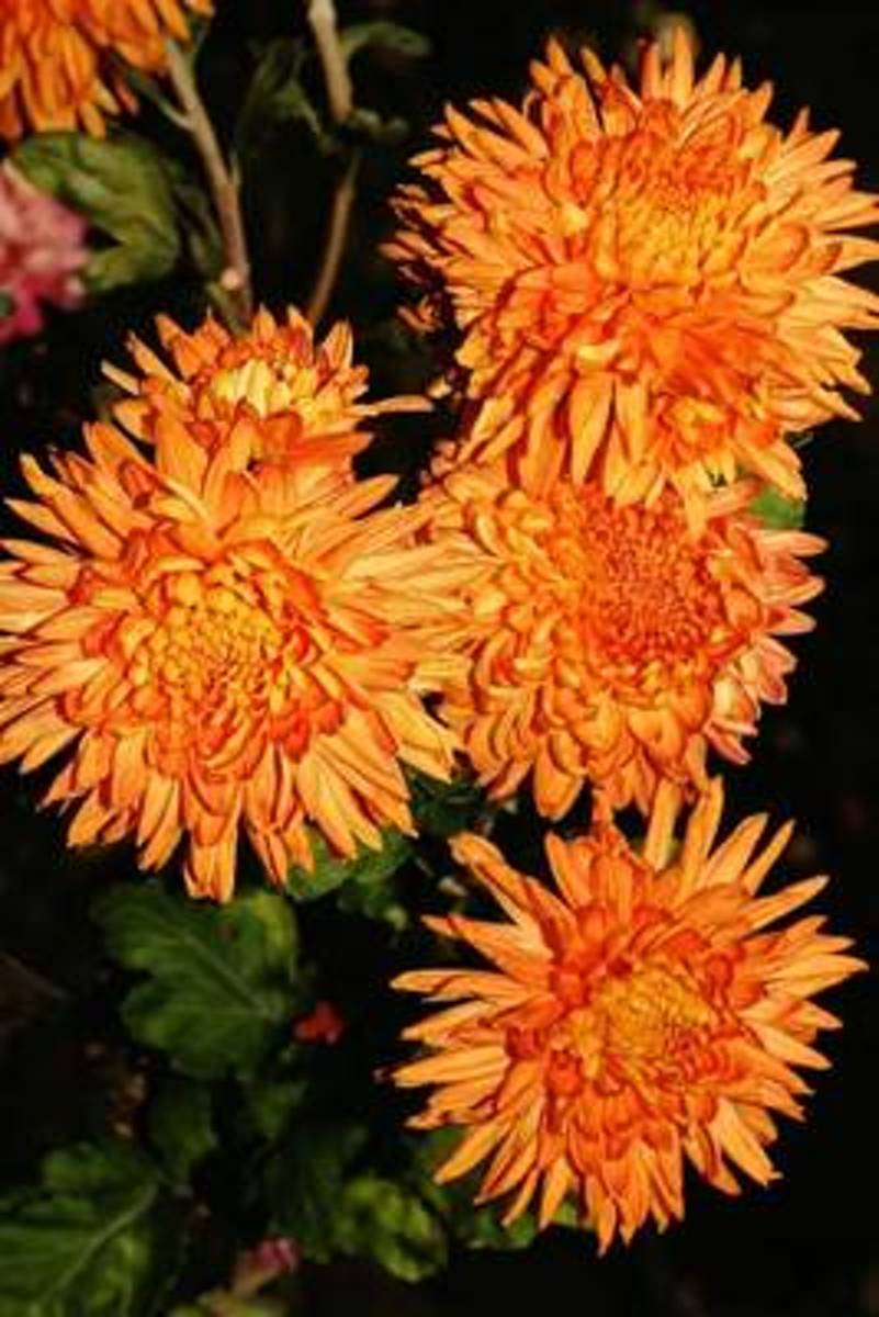 Orange Mums Autumn Flower Journal