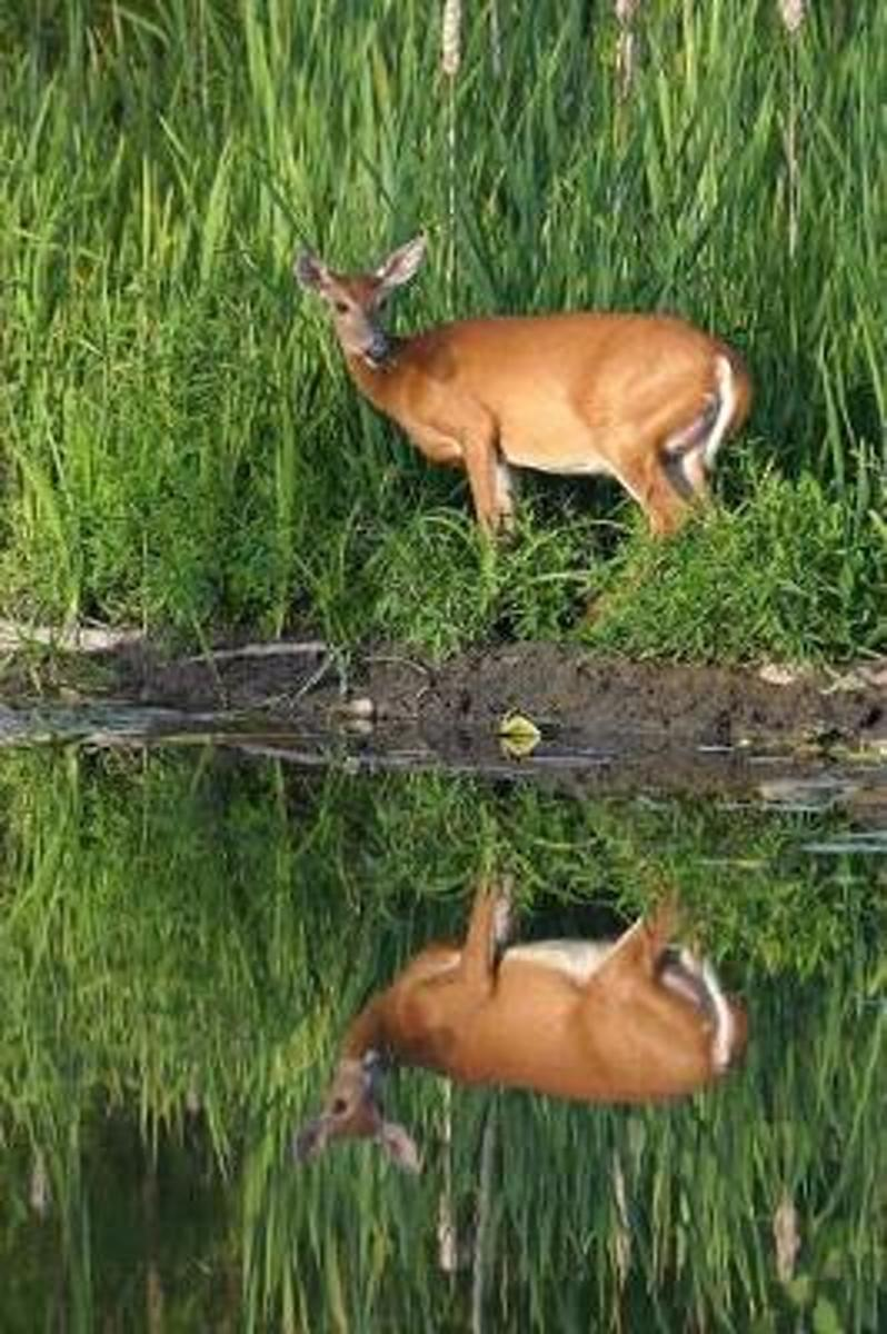 Pretty Awesome White-Tailed Deer Reflected in a Lake