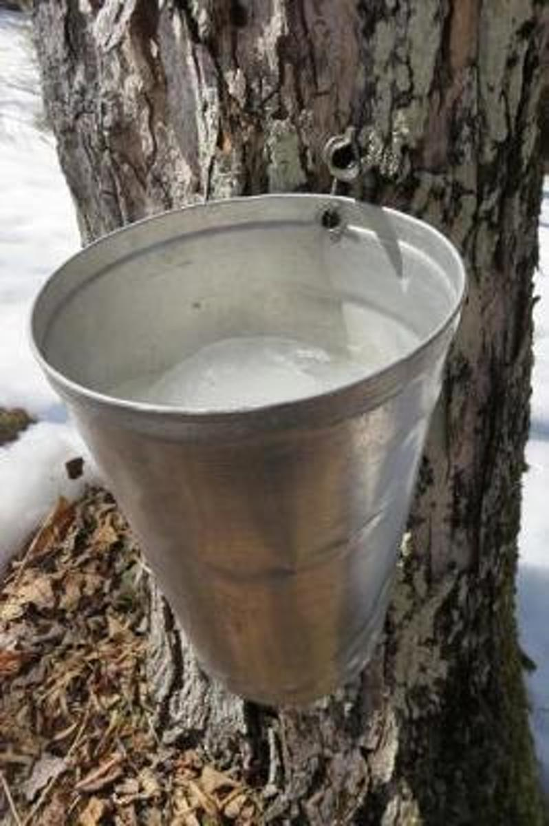 Silver Bucket on a Maple Tree to Collect SAP for Maple Syrup Journal