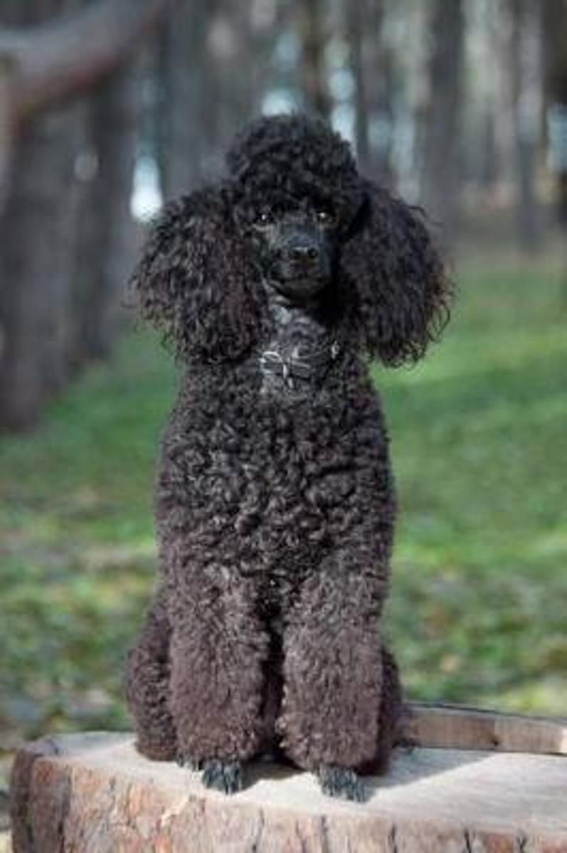A Beautiful Black Poodle Outside on a Summer Day Dog Journal
