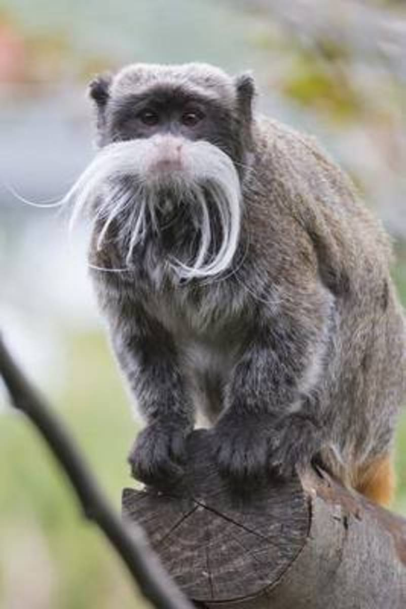 Emperor Tamarin Journal
