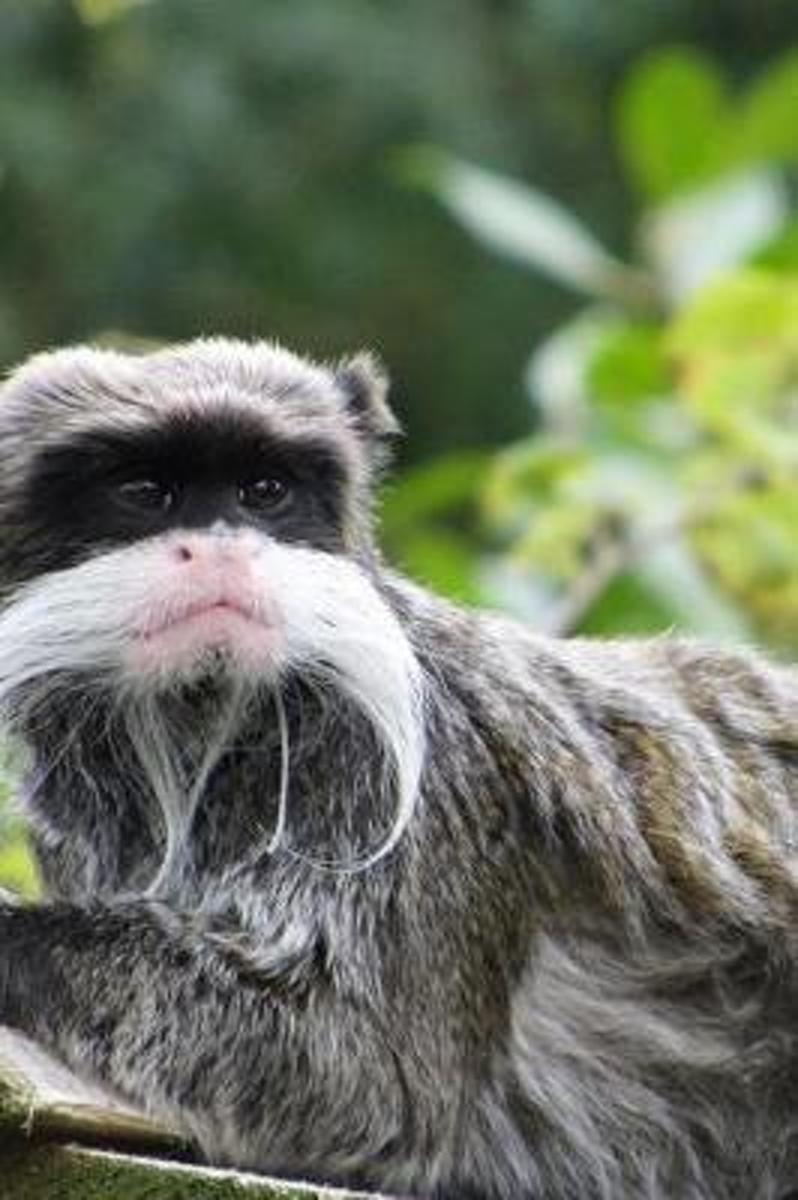 Emperor Tamarin (Sanguinus Imperator) Monkey Journal