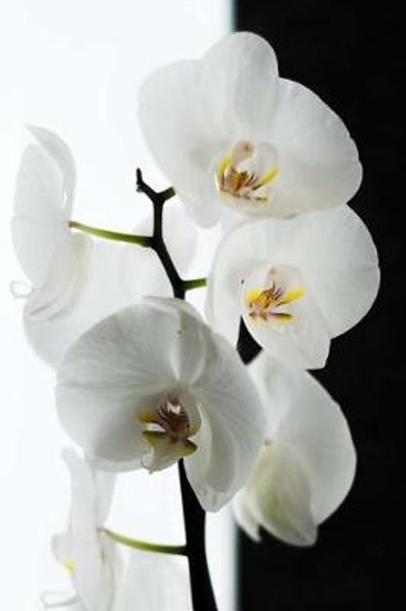 Elegant White Orchid Blooms Flower Journal
