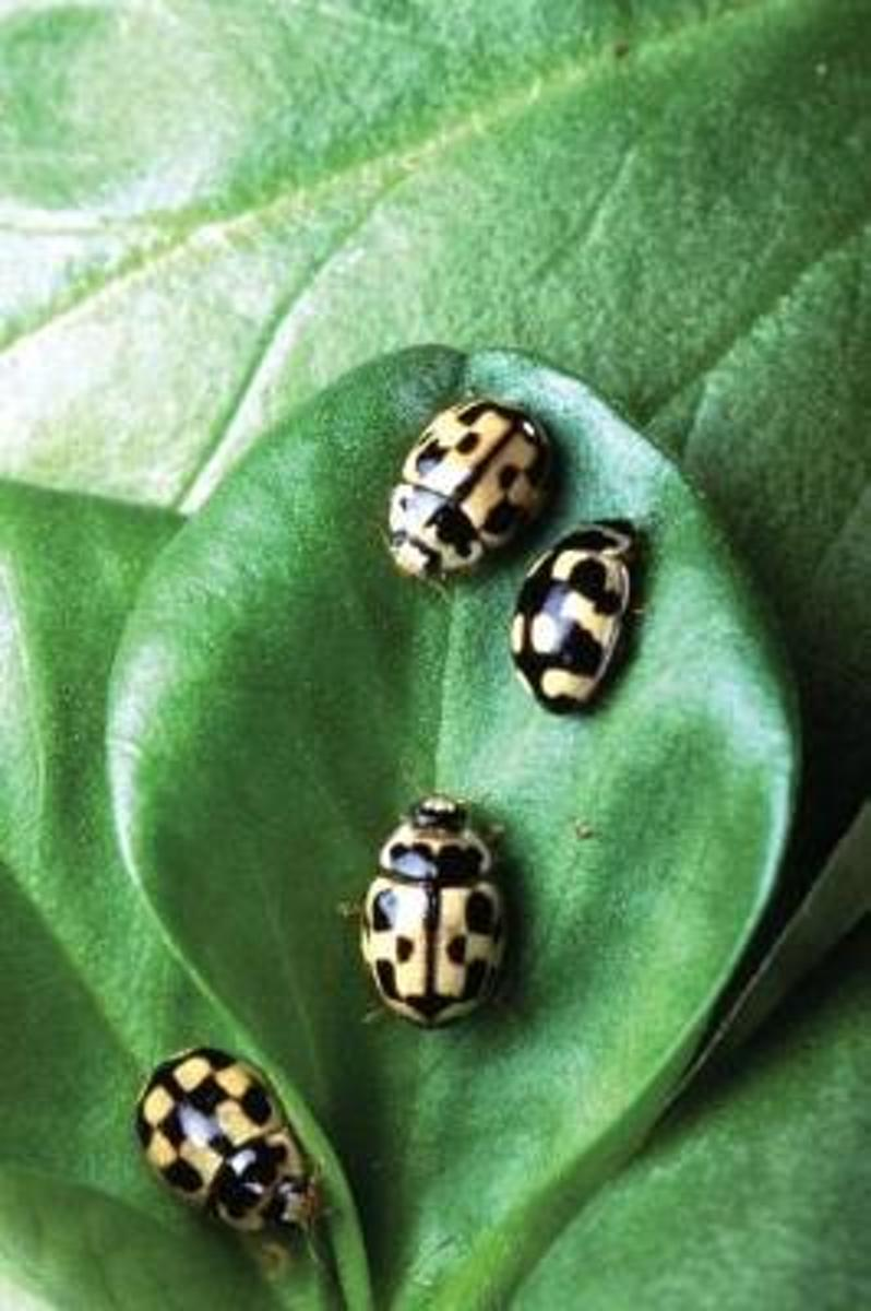 Insect Journal Beetles on Green Leaf Entomology