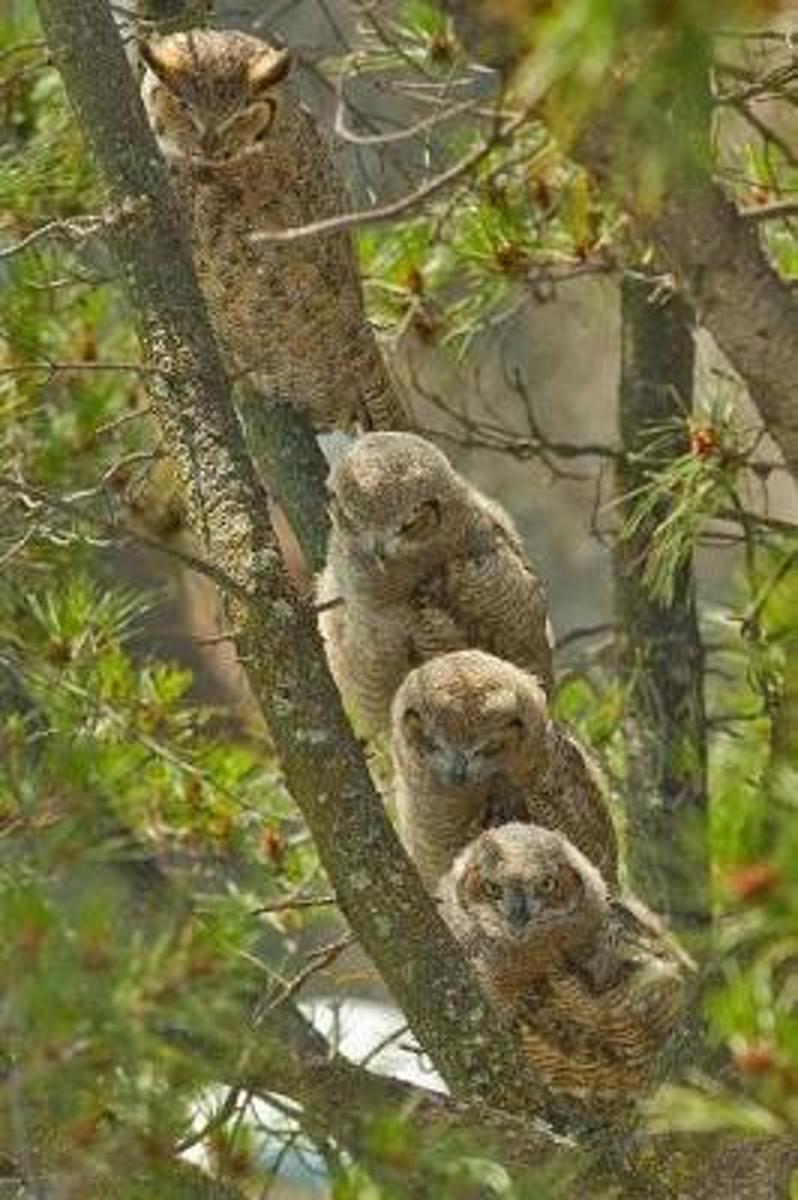 Four Great Horned Owls Perched on a Tree Journal