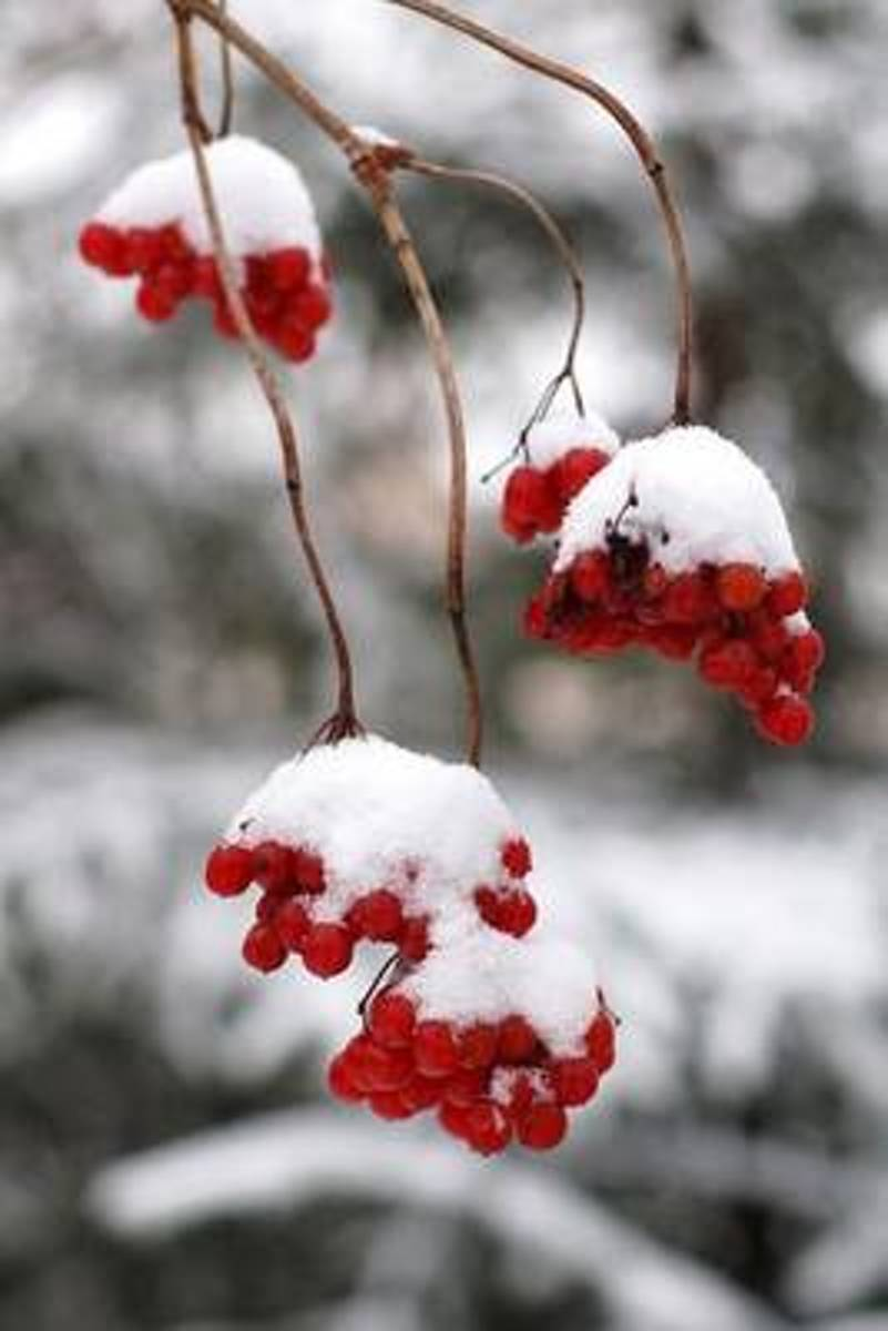 Red Berries Covered in Snow Winter Journal