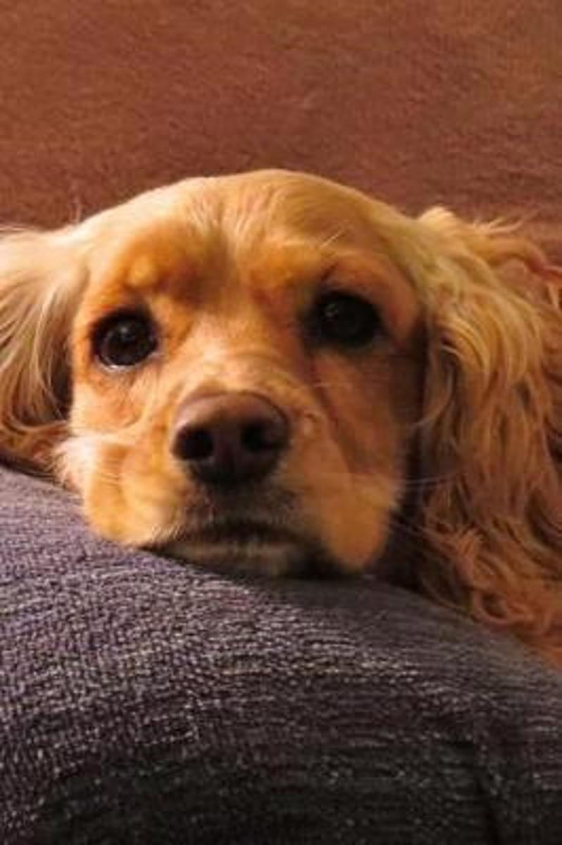 Sweet Blonde Cocker Spaniel Dog Is Looking at You Pet Journal