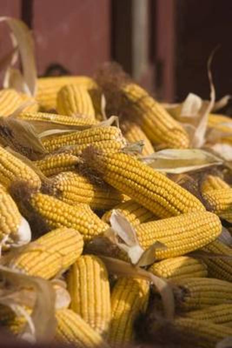 Hand Harvested Yellow Dent Corn from Iowa USA Journal