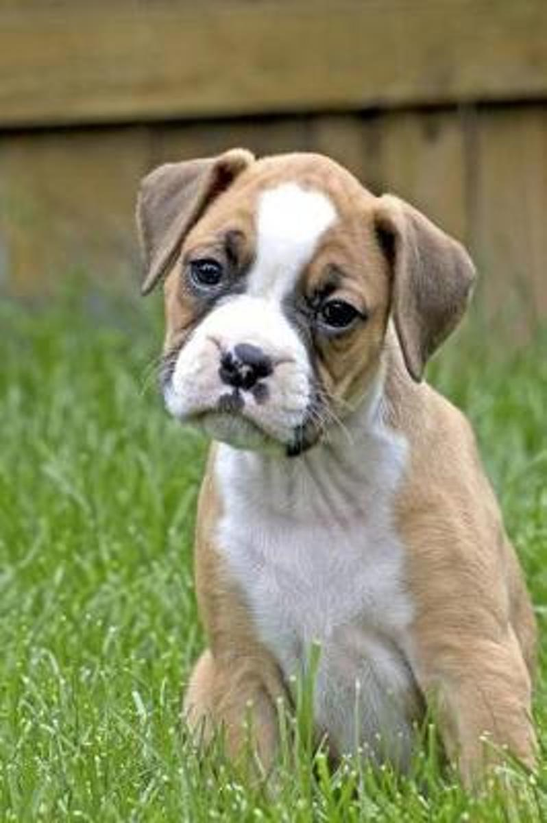 Skeptical Tan and White Boxer Puppy Dog Journal