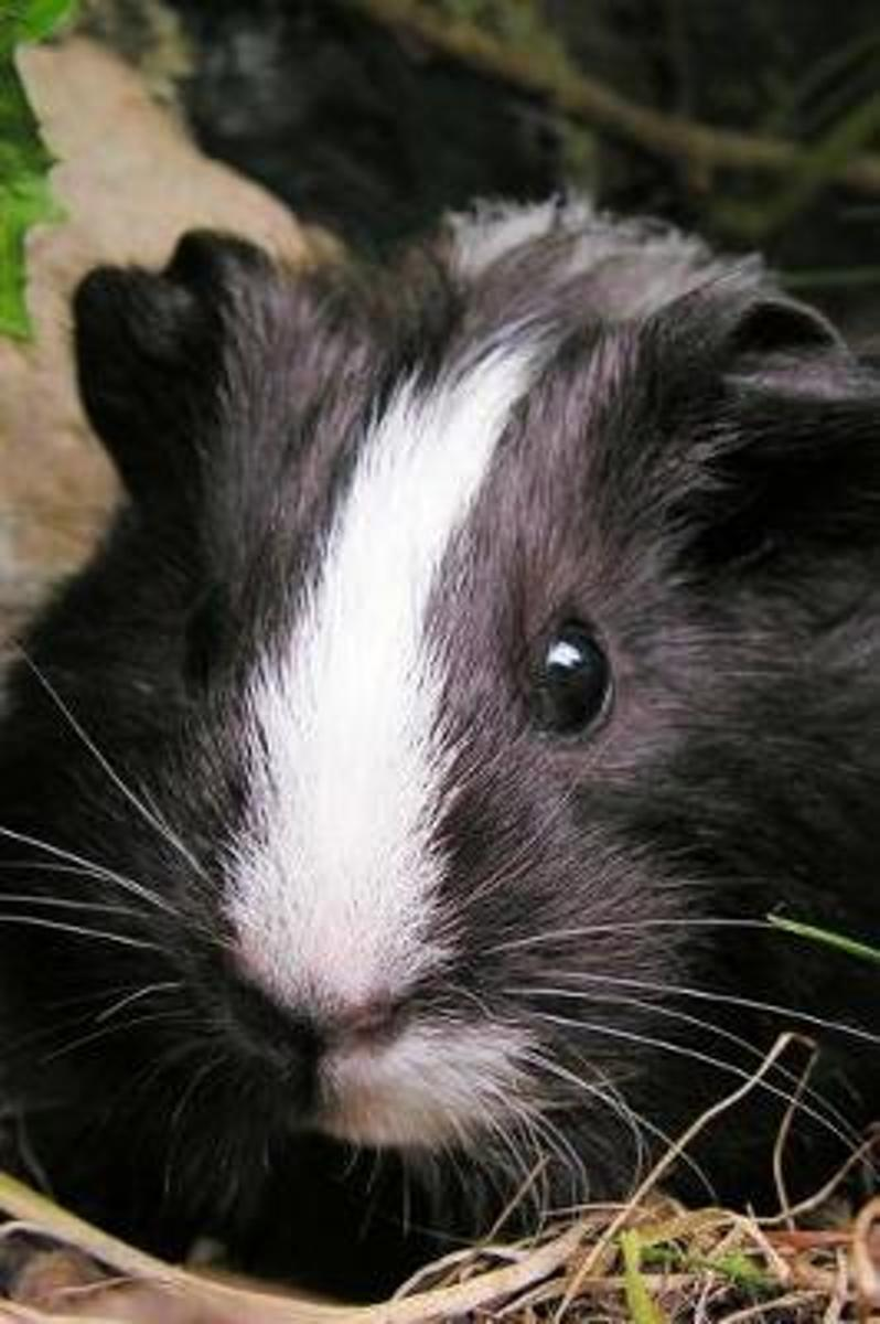 So Very Cute Black and White Guinea Pig Pet Journal