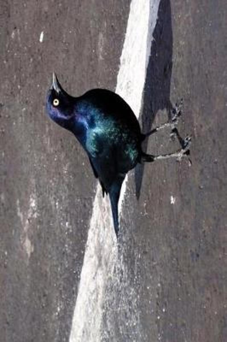 Cool Black Bird with Beautiful Iridescent Feathers Journal