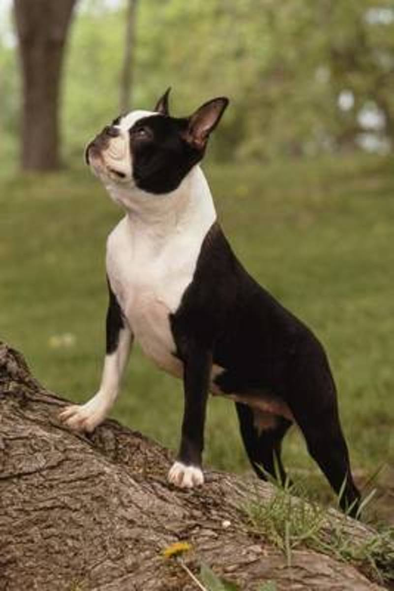 The Boston Terrier Dog Journal