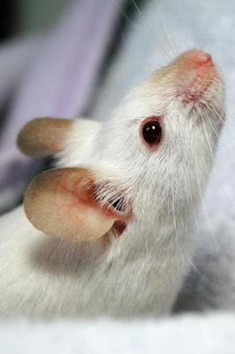 Little White Mouse with a Pink Nose Pet Journal