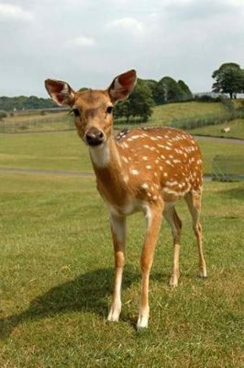 Brown Fawn with White Spots Baby Deer Journal