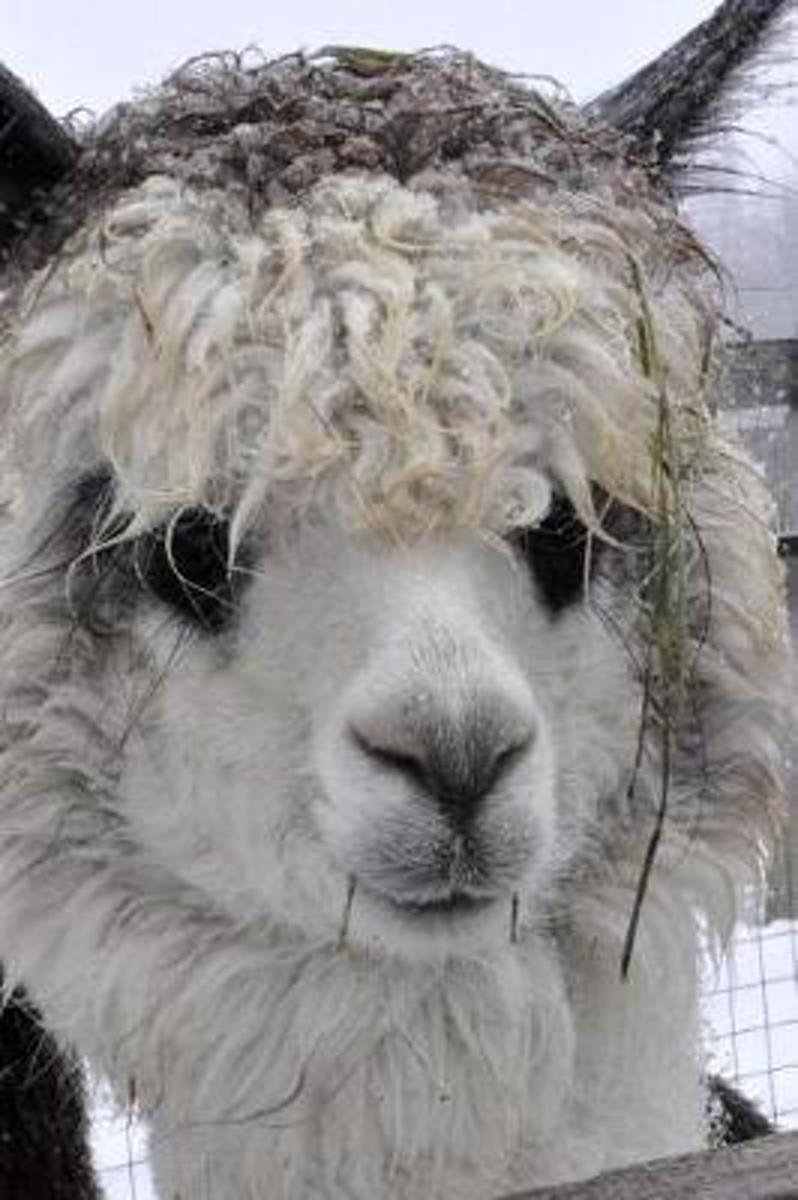 Such a Sweet Face! Adorable Alpaca Journal