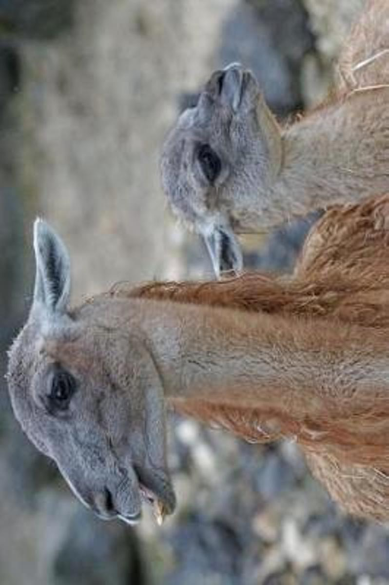 A Mama Guanaco and Her Baby in Chile South America Journal