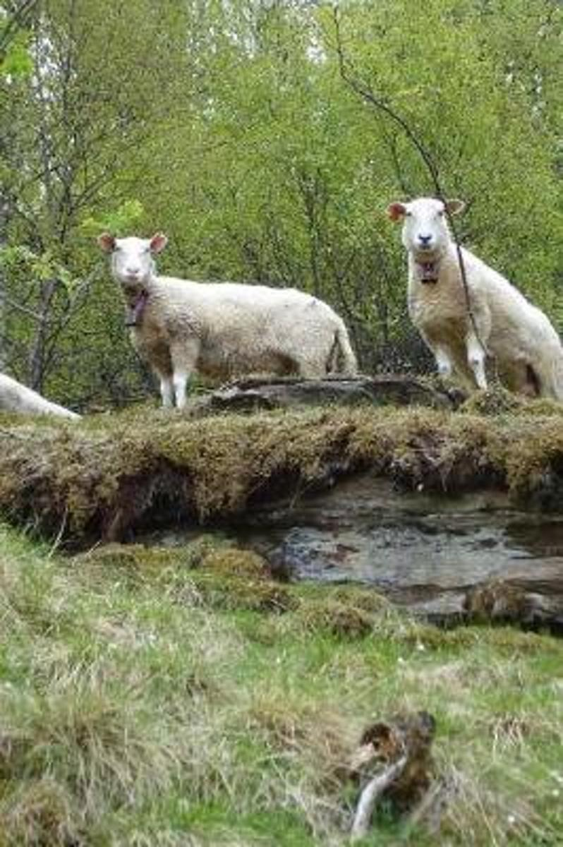 Wooly White Sheep on a Country Bridge in the Spring Journal