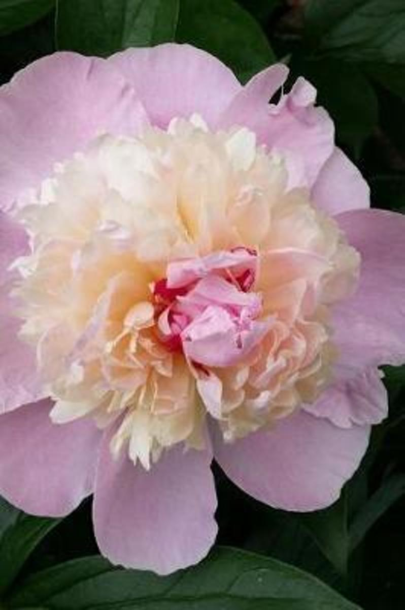 An Exquisite Pink and Cream Peony in Full Bloom Spring Flower Journal