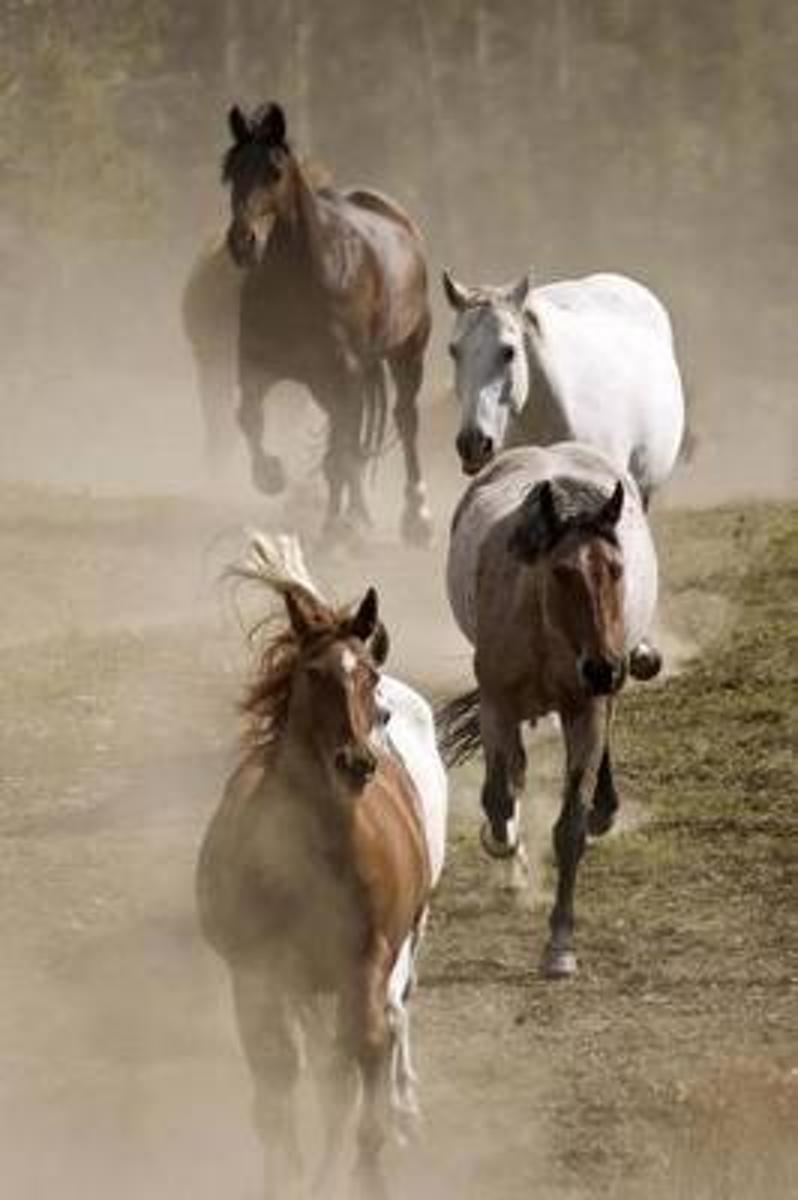 A Herd of Horses Racing Downhill Journal