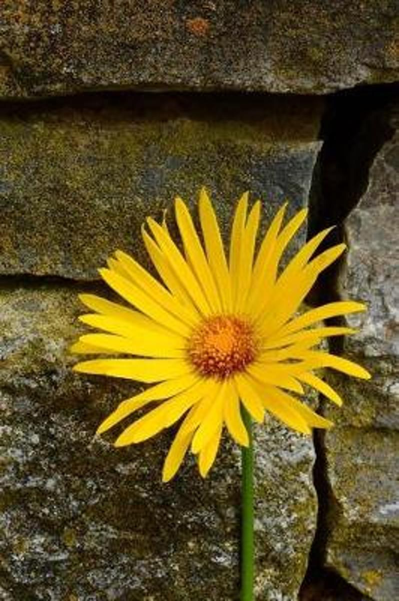 Bright and Cheerful Yellow Daisy Against a Stone Wall Journal