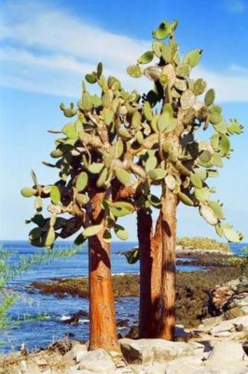 Galapagos Cactus Tree Journal