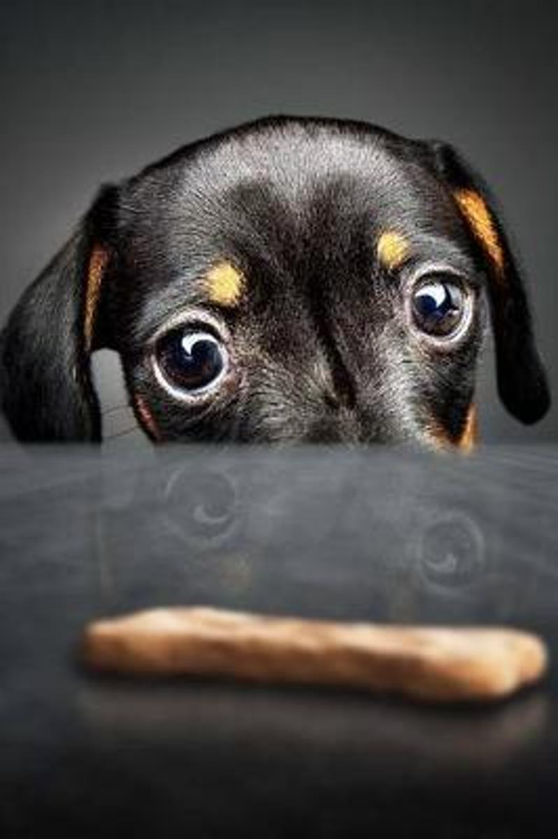 Dachshund Puppy Dog Peeking at a Treat on the Table Journal