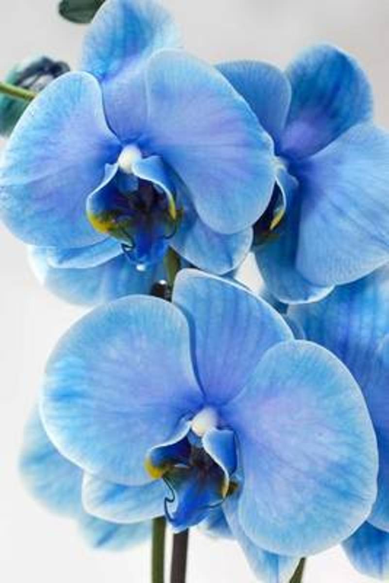 Blue Orchid Exotic Flower Journal
