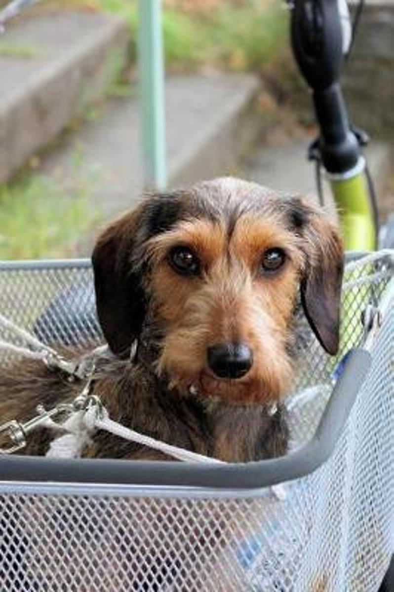 Wirehair Dachshund Puppy Dog Going for a Ride Pet Journal