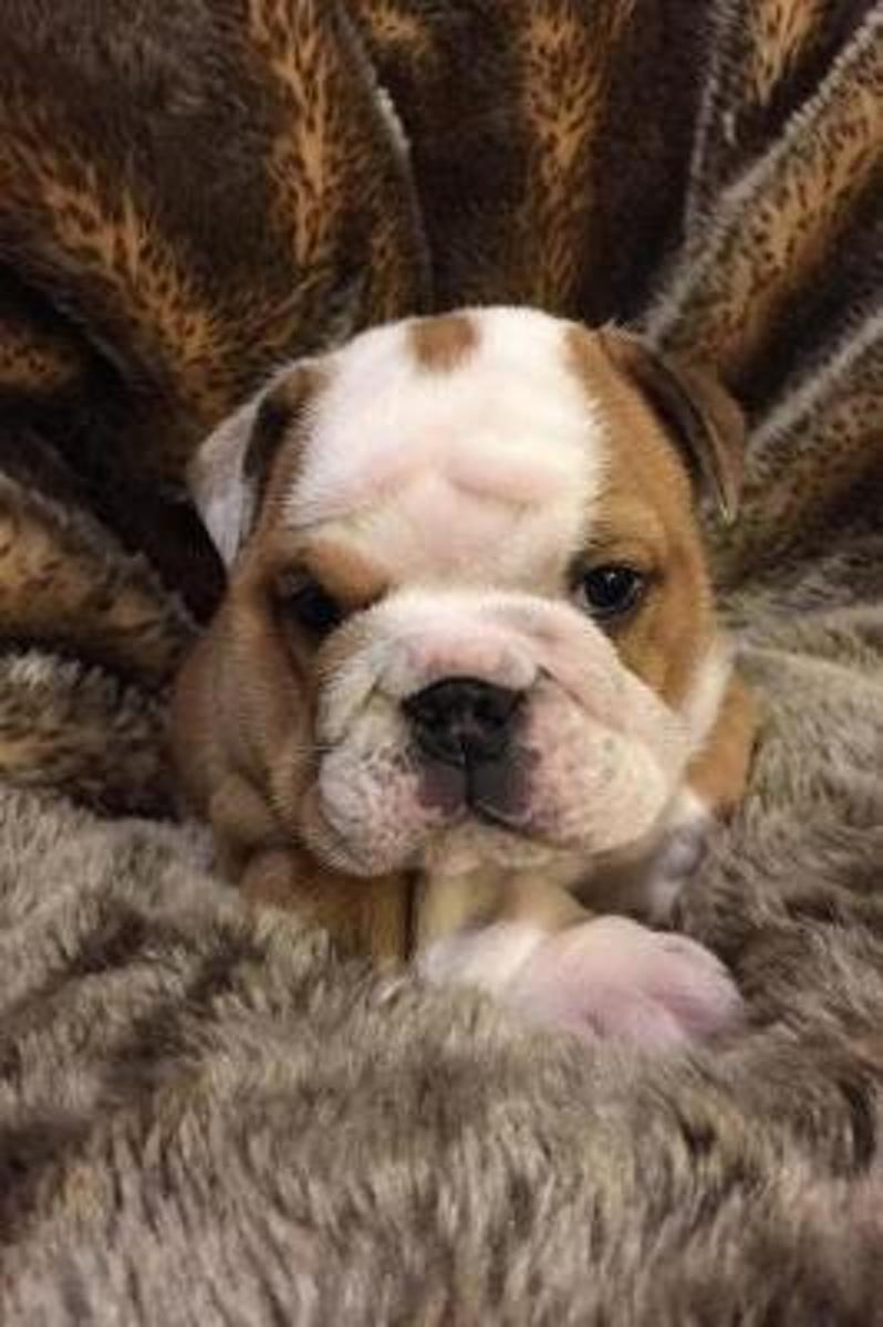 Such a Face! Baby English Bulldog Puppy Pet Journal