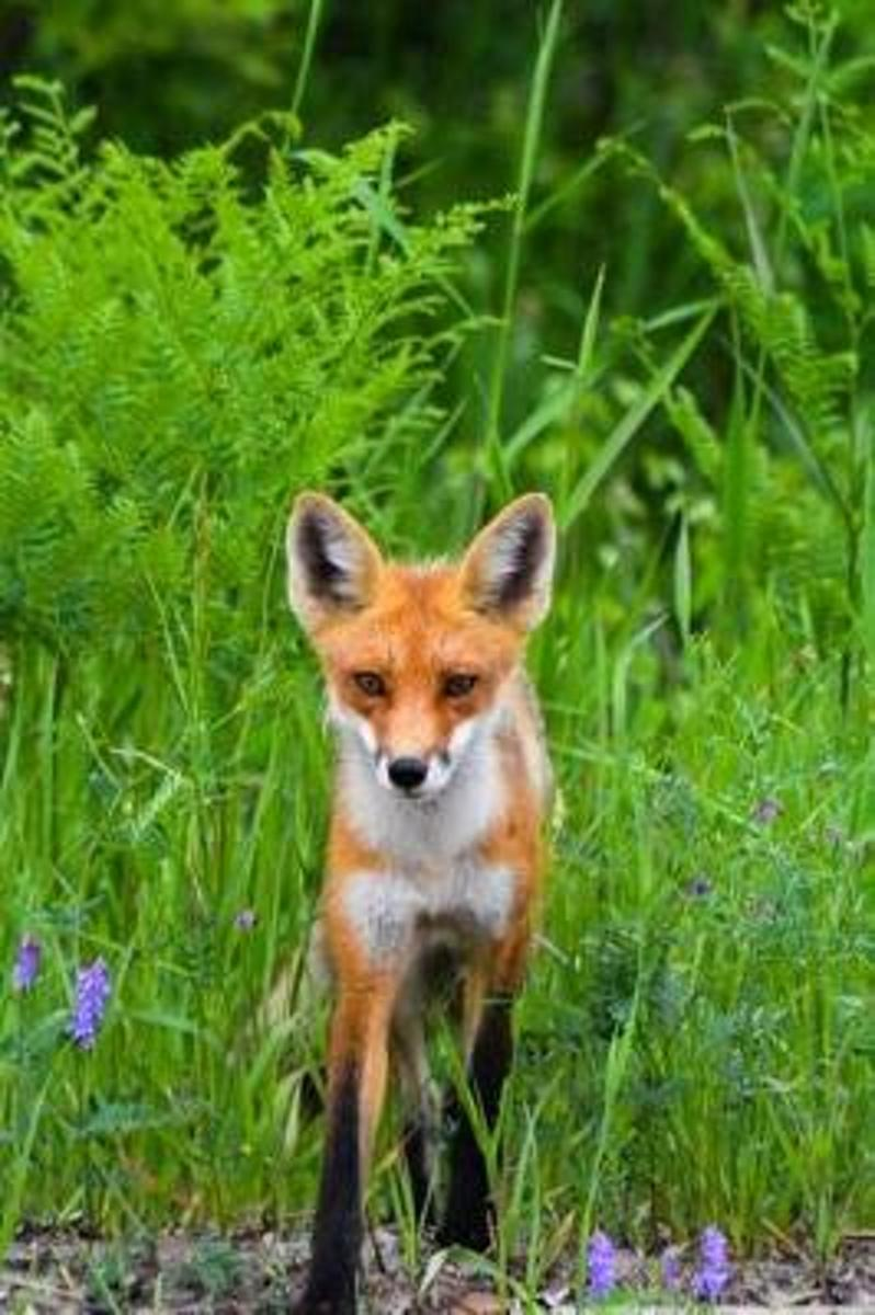 Solitary Red Fox in a Meadow Journal